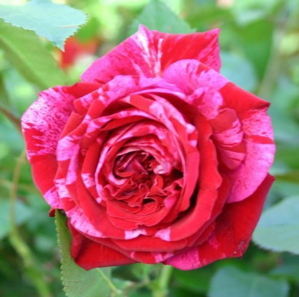 trandafir multicolor