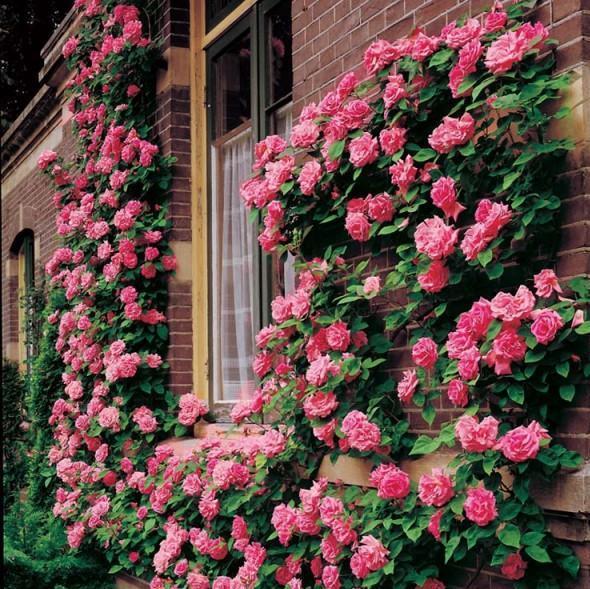 trandafiri urcători roz